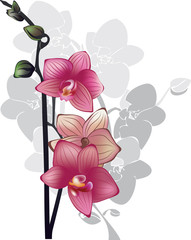 branch of pink orchids on a white background