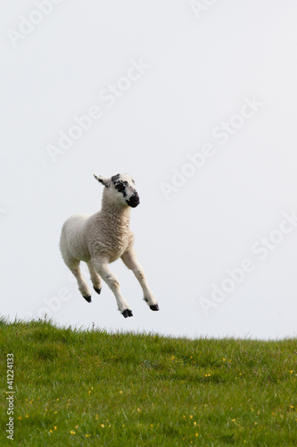 Lamb leaping into the air