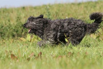 course de profil d'un chien dans les champs