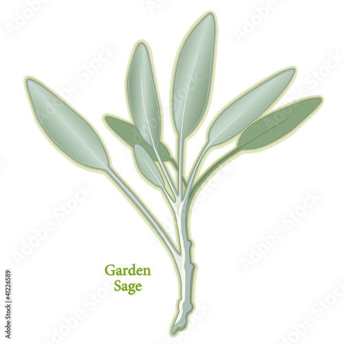 Garden Sage Herb, to season meats, poultry, stuffing. Medicinal