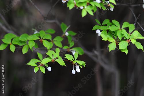 Fotobehang Azalea Enkianthus perulatus-5