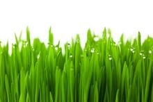 Frais d'herbe de blé vert avec des gouttes de rosée / isolé sur blanc avec