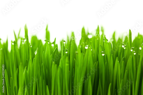 Fresh green wheat grass with drops dew / isolated on white with