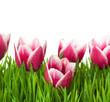Fresh Tulips and green Grass with drops dew / isolated on white