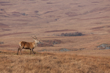 Stag photographed on Jura in Scotland looking right