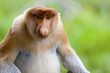 A proboscis monkey, Sandakan, Malaysia.