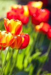 The tulips in garden