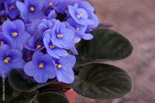 Foto op Aluminium Pansies Violet Saintpaulia