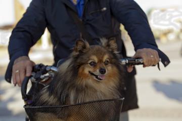 Volpino spitz nel cesto della bicicletta