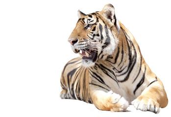 Tiger sit