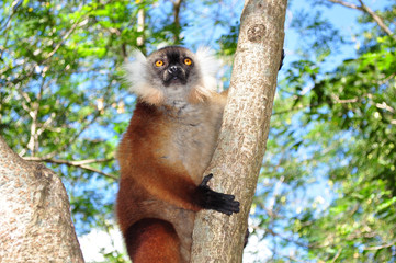 Madagascar. Lemure di Nosy Komba