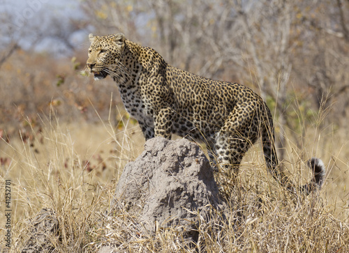 Leopard on termite mound, South Africa