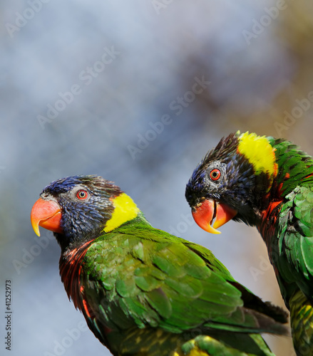 Lorikeet Pair