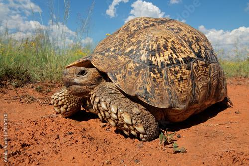 Fotobehang Luipaard Leopard tortoise (Stigmochelys pardalis)