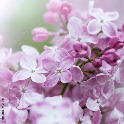 Fotobehang Lilac Purple Lilac