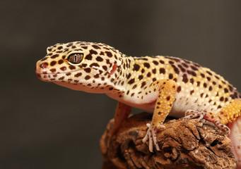 Gecko auf Ast