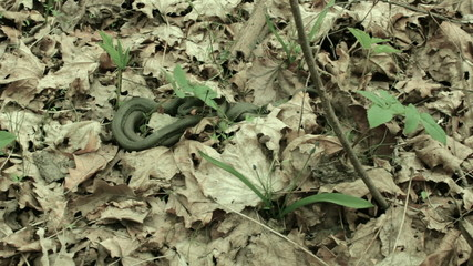 Snakes in the woods