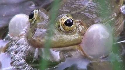 Marsh frog in the pond sings wedding song
