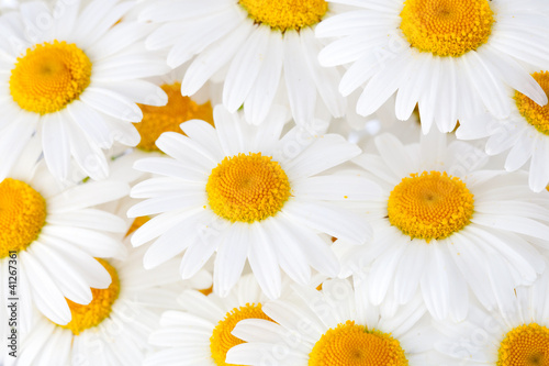 Beautiful marguerite flowers