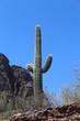 Saguaro Cactus in Arizona Desert at Picacho Peak