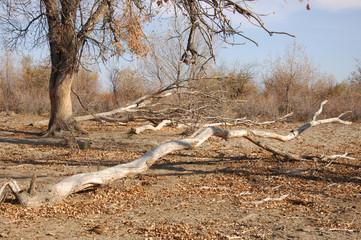 Diversifolia Populus