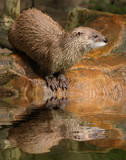 The European Otter (Lutra lutra).
