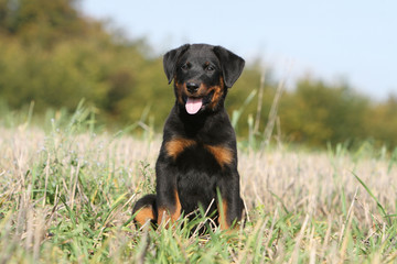 chiot beauceron assis de face - berger de Beauce