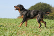 berger de beauce on the field - beauceron