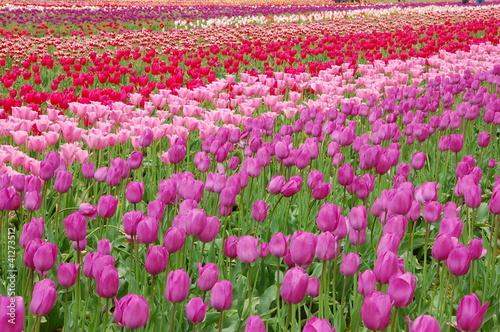 Foto op Canvas Azalea Tulip Field in Spring