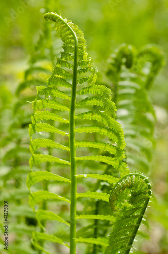 Young Fern Growing in the Forest in the Spring