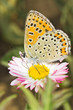 Lycaena tityrus / Blue Sooty Copper butterfly close-up