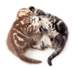 two kittens struggle top view