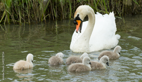 Fotobehang Cygnets are swimming in the water