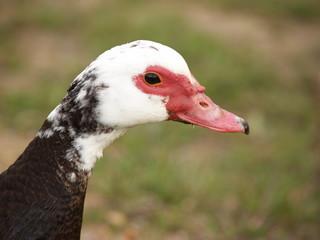 Portrait d'un canard