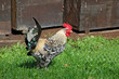 One beautiful hen on green village courtyard