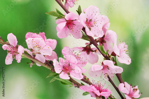 brzoskwiniowe-kwiaty-w-wiosennym-sloncu