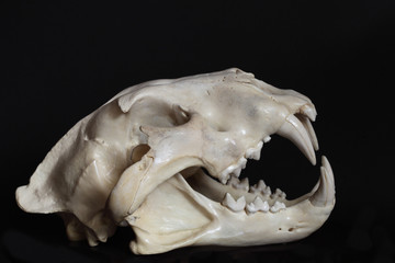 Right side view of male lain skull