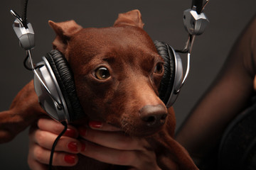 portrait of dog with headphones