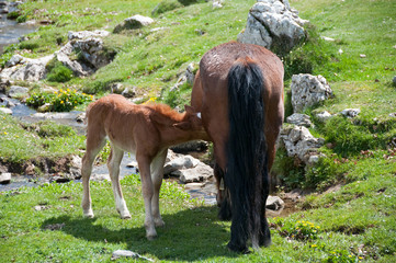 A brown horse feeding a foal