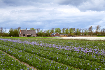 Dutch farm of hyacinths