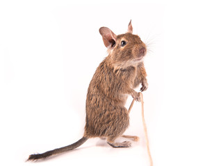 Young degu playing with a rope (4 months)