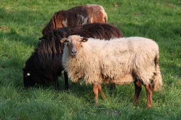Schafe01