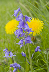 Bluebells with yellow dandelions