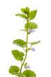 Gundelrebe (Glechoma hederacea) stehend vor weißem Hintergrund