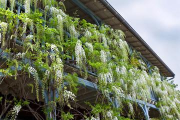 Glycine, maison, balcon, terrasse, plante, fleur, jardin