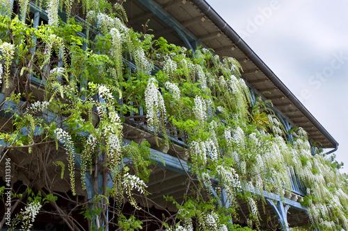 glycine maison balcon terrasse plante fleur jardin photo libre de droits sur la banque d. Black Bedroom Furniture Sets. Home Design Ideas