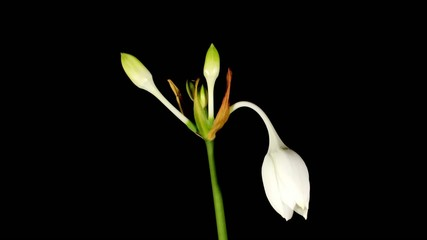 white Amazon lily flower  (Eucharis grandiflora) timelapse