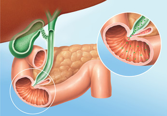 Fettverdauung, Pankreas und Gallenenzyme, Sekrete
