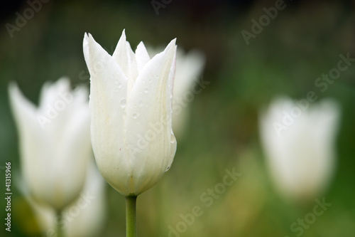 White Tulips with rain drops