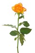 Orange gelbe Rose